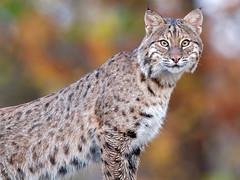 Bobcat (Steve Gifford - IN) Tags: 2016 hilook proposal lens cloth steve steven gifford haubstadt indiana