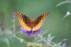 Take Flight (eyriel) Tags: butterfly nature wildlife macro bokeh bush orange purple