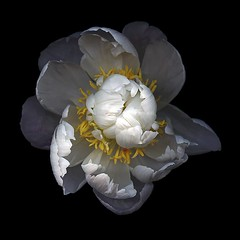 Hush (Jazz Jumper) Tags: peony white cream yellow beautiful bloom flora botanical petals blackbackground square kate scott