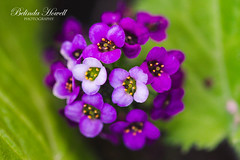 sweet little flower (Belinda Howell Photography) Tags: macro purple tiny garden close up pretty