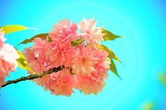 ciliegio (ecordaphoto) Tags: nature nikon flowers flower ciliegio pink pinkflower natura fiori rosa sky cielo d5100 dx
