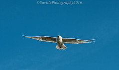 AAB_3385s (savillent) Tags: tuktoyaktuk northwest territories canada earth day sun birds people travel landscape blue sky pingos arctic climate north frontier savillent nikon summer august 2016