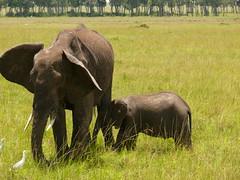 Mother Elephant and Baby ! (Mara 1) Tags: africa kenya masai mara wildlife elephants ears trunks green grass outdoors trees tail white egret birds animals