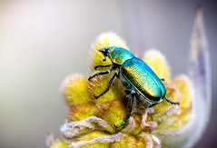 Jewel Beetle (Lennixx) Tags: purple beetle green shiny iridescent pollinator perth wa australia coleoptera conostylis bushland wild buprestidae flower kingspark