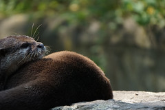Tagtrumer_daydreamer (photalena) Tags: tiere zoo otter animal 7dwf fauna dream berlin