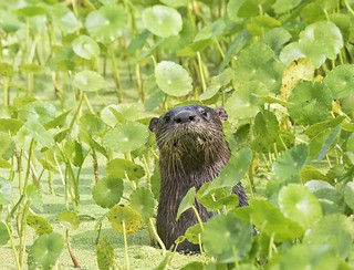 Otter in Dollar weed