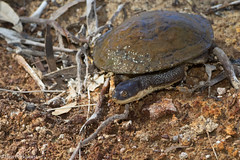 Flat-shelled Turtle (Chelodina steindachneri) (BenParkhurst) Tags: outdoor animal wa western australia canning stock route outback arid springs dinner plate flatshelled turtle chelodina steindachneri