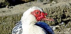Ente (ferdinand.wallek) Tags: duck ente portrait portrt animal