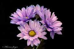 Group of Purple Daisies 1209 Copyrighted (Tjerger) Tags: nature beautiful beauty black blackbackground bloom bunch daisy fall flora floral flower group plant portrait purple tinted white wisconsin yellow natural