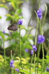 IMG_0497 (trevor.patt) Tags: palauubin singapore butterfly
