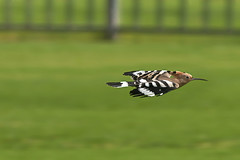 #850D3540- A dive of hoopoe (crimsonbelt) Tags: park birds dubai wildlife dive hoopoe creekside
