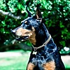 Slater (lightstagephotography) Tags: dog canon photography doberman dogphotography slater iluvmydog dogbreeds