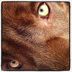 (newites) Tags: portrait dog pet eyes lab labrador chocolate retrato perro ojos sick choco mascota newites