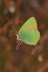 Green Hairstreak, Callophrys rubi (David J. Morris) Tags: nationalpark derbyshire peakdistrict nationaltrust 2012 kinderscout greenhairstreak davidmorris callophrysrubi nikond300