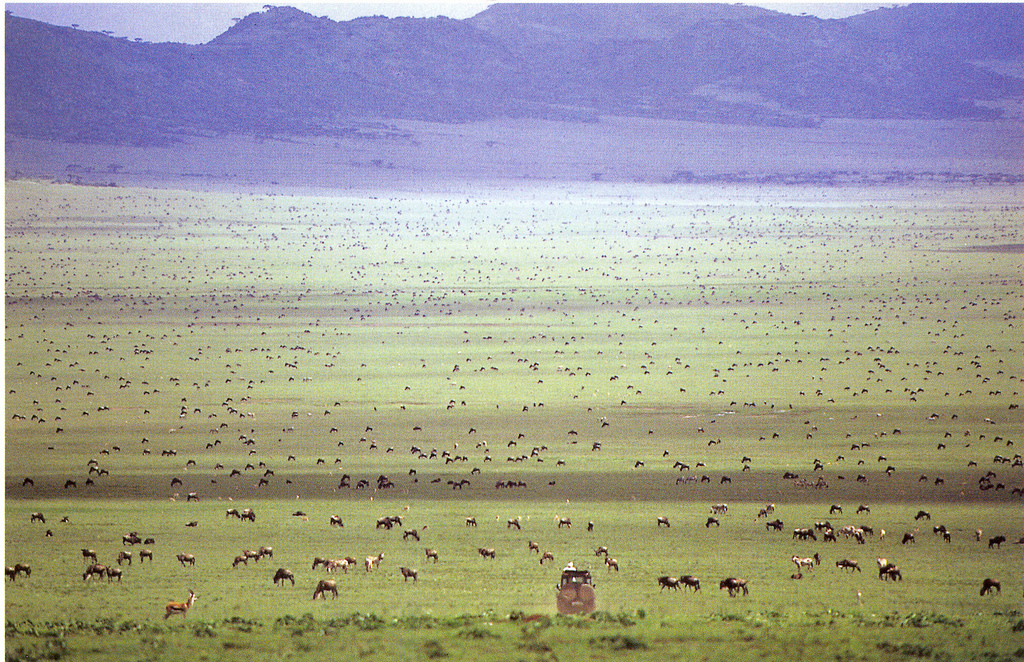 Wildebeest Migration 1