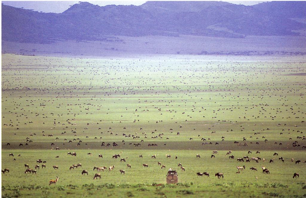Wildebeest Migration 1