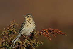 Meadow Pipit (Anthus pratensis) 9775 (Highland Andy (Andy Howard)) Tags: bird scotland wildlife highland invernessshire meadowpipit anthuspratensis highlandnatureimages
