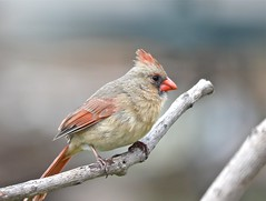 She's a Beauty (DaveLadore) Tags: canada birds nikon cardinal shrewsbury chathamkent sigma150500 nikond7000