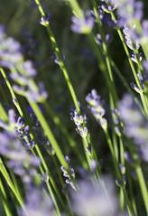 Lavender III (s_mahela) Tags: flowers summer green schweiz switzerland sommer violet lavender blumen lila grn lyla violett lavendel