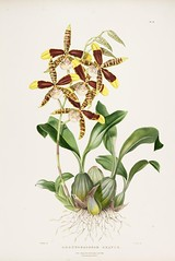 n88_w1150 (BioDivLibrary) Tags: guatemala mexico orchidaceae plants missouribotanicalgardenpeterhravenlibrary bhl:page=769204 dc:identifier=httpbiodiversitylibraryorgpage769204 taxonomy:binomial=rossioglossumgrande womeninscience artist:name=augustainneswithers artist:viaf=95819243 augustainneswithers q2870951 illustrator:wikidata=q2870951 hernaturalhistory