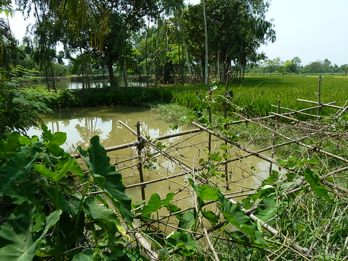 Rice-fish farming, Joypurhat district, Bangladesh. Photo by Anne Delaporte, 2012.