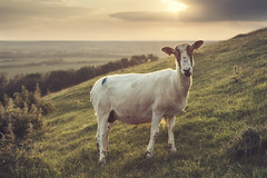 Hey. Ewe. (Vemsteroo) Tags: sunset summer english nature animal canon countryside spring sheep expression mother 5d hillside fleece livestock f4 sheared burtondassett ewe mkiii eventoedungulates artiodactyla 24105mm quadrupedal ruminantmammals