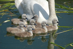 cygnets 3 (biotron) Tags: swan cygnet stirlingshire campsies blanevalley blanefield