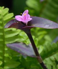 268e longing..... (jjjj56cp) Tags: pink flowers fern nature spring purple blossoms blooms krohnconservatory jennypansing