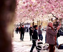 kungstrdgrden, Lennart Nilsson (frasse21) Tags: pink flowers summer sun flower cherry spring dof sebastian blossom stockholm bokeh sunny cherryblossom blommor sommar vr fransson krsbr sebastianfransson frasse21