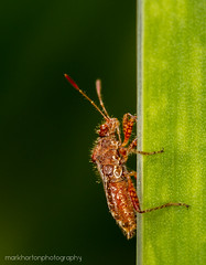 plant bug (Rhopalus subrufus) (markhortonphotography) Tags: macro canon bug insect surrey 100mm 7d f28 deepcut surreyheath plantbug rhopalussubrufus eos7d