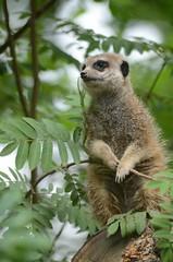 Meerkat (mellting) Tags: animal zoo meerkat nikon sweden eskilstuna suricatasuricatta surikat parkenzoo sigma70300456 nikond7000 mellting obloggad