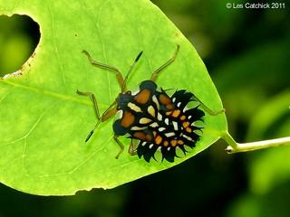Unidentified bug (possibly shieldbug nymph)