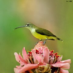 (Explored) Little Spiderhunter on flower (kengoh8888) Tags: wild flower green yellow pose little pentax background ngc ping creamy k5 longbeak smallbird thegalaxy spiderhunter
