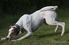 A Mad Moment (Shastajak) Tags: dog pentax whippet gps bullterrier sighthound rehomed rescued k5 saluki lurcher flori crossbreed gazehound tamron18250mm pentaxk5 gpstrackingcollar retrievatrackingcollar retrieva