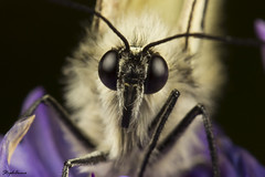 Piéride de l'aubépine 1 (StephAnna :-)) Tags: white butterfly aporia crataegi blackveined stephanna