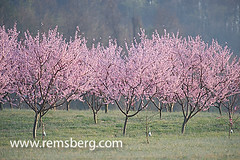 Peach trees in blossom.Albermarle Cider works (Remsberg Photos) Tags: usa tree fruit garden outdoors virginia flora blossom peach orchard ag bloom charlottesville agriculture gardenthings outdoorsthings agriculturethings