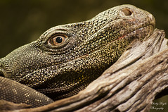 Monitor Lizard stare (Cherry Harrison) Tags: wood portrait green eye forest zoo islands nikon dragon angle perspective conservation indoor palm lizard chester monsoon scales breeding tropical stare species savannah endangered indonesian grasslands largest komodo programme 55200mm parthenogenesis