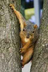 44/365/1505 (July 25, 2012) - Squirrel at the University of Michigan (July 25, 2012) (cseeman) Tags: squirrels annarbor michigan animal campus universityofmichigan summer warm hot sunny peanut tight tightspot 2012project365coreys project365 julyumsquirrel gobluesquirrels umsquirrel foxsquirrels easternfoxsquirrels michiganfoxsquirrels universityofmichiganfoxsquirrels