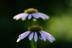 DSC_2568a (Fransois) Tags: flowers summer green fleurs dof echinacea bokeh vert été échinacée