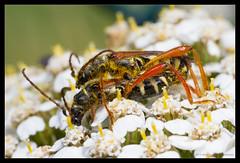 Nice Legs..... (Stenopterus rufus) (Moneycue) Tags: red orange flower macro nature netherlands bug insect longhornbeetle canonmpe65 stenopterusrufus canon7d roundneckedlonghornbeetle moneycue braunrtlichespitzdeckenbock