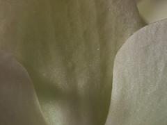 Taken for Our Daily Challenge: All one colour (iLikePhotos!) Tags: orchid macro closeup germany deutschland gelb aachen nrw orchidee makro blte nordrheinwestfalen bltenbltter nahaufnahme aixlachapelle phaleanopsis 300v northrhinewestphalia filltheframe hellgelb hybride asparagales blumenundpflanzen aeridinae vandoideae vandeae spargelartige allonecolour olympuspenep2 ourdailychallenge panasonicleicadgmacroelmarit45mm28asphois