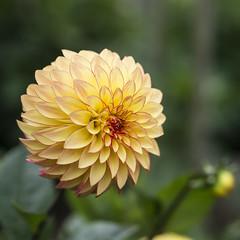 Verrone's Taylor Swift (P1330528) (Michael.Lee.Pics.NYC) Tags: park dahlia flower yellow garden golden gate bokeh taylor swift cmwd verrones