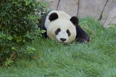 Xiao Liwu relaxing in the grass (Rita Petita) Tags: china california panda sandiego x giantpanda sandiegozoo specanimal xiaoliwu