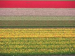 Farming Tulips at Keukenhof (joiseyshowaa) Tags: holland netherlands dutch tulips flowers field farm cycling bicycle travel tourist den keukenhof garden bulbs red yellow pink white