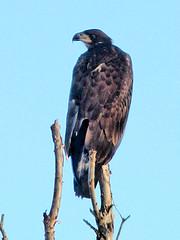Bald Eaglet HDR 02-20160717 (Kenneth Cole Schneider) Tags: florida miramar westbrowardwca baldeaglenest pembrokepines