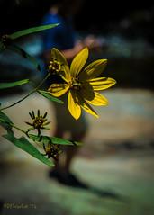 Goldenrod (David Warlick) Tags: adobelightroom goldenrod naturenc wilsoncreek flower nature nohdr yellow newland northcarolina unitedstates us