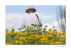Summertime at Sussex Prairie Garden - 7 (Explored) (hehaden) Tags: flowers yellow rudbeckia man panama hat summer sussexprairiegarden henfield sussex
