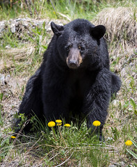 Canadian local in his natural habitat (Schmu.online) Tags: blackbear wildlife wilderness bear canada nationalpark kanada jasper banff icefiledparkway flowers outdoor explore model posing canon canon6d nature natur br tier schwarzbr