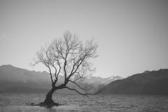 [somewhere in New Zealand] that Wanaka tree (pooldodo) Tags: wanaka newzealand pooldodo taotzuchang tree lake blackandwhite