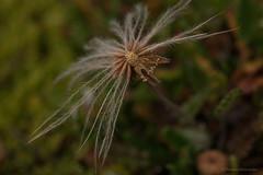 like a featherstar, seeds of an arctic flower in Svalbard (thomas.reissnecker) Tags: stars star arctica arktis flower blume macromondays featherstar